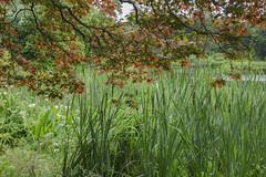 (Wendy:) Tags: mountstewart gardens nationaltrust codown acer bullrushes lake