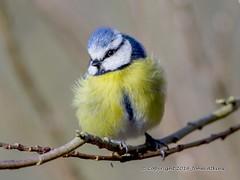 Blue Tit at Nene Park 29/02/16 (johnatkins2008) Tags: camera woodland ferrymeadows gardenbirds bluetits nenepark woodlandbirds birdphotography canonphotography johnatkins2008