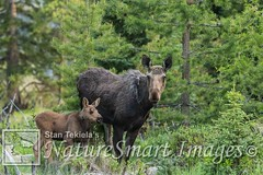 Moose mother and calf Tekiela STEK9481 (Stan Tekiela's Nature Smart Wildlife Images) Tags: mammals vertebrates vertibrate mammalia fur hair terrestrial land animal moosealcesalces naturesmartwildlifewordsandimages stantekiela copyright allrightsreservered stockimage professionalphotographer images wildlife animals nature naturalist wild stockphotos digitalimages critter stockimages motherandcalf