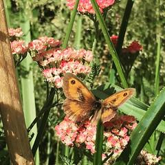 Meadow Brown #butterfly #isleofdogs
