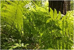 ghltal 301 (beauty of all things) Tags: fern green belgium grn farn belgien raeren prester ghltal