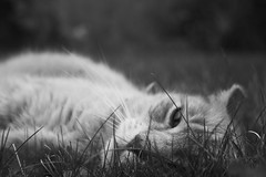 Little Lion (AlisAquilae) Tags: little young lion courage bravery fierce tabby cat pets portuguese monochrome bw grass outside canon canont1i