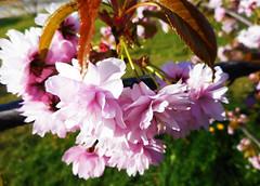 Sakura (rimasjank) Tags: blossom sakura lithuania vilnius