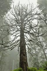 Tree of sorrow (sykora_greg) Tags: babia gra sigma 1770 nikon d3300
