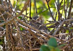 nestling (kerwilliger) Tags: california sanfranciscobayarea mockingbird birds nest nestling mimuspolyglottos chick