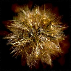 Distorted Pod (Drake Dyck Photography) Tags: dandelion seed pod distorted rippled