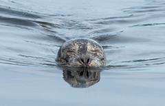 Harbour Seal (RussellK2013) Tags: seal sea harbourseal mammal ocean water animal wildlife wild nature ngc nikon nikkor d500 300mmf4epfedvr 300mm prime britishcolumbia canada portrait