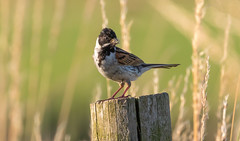 Reed Bunting with spiders (The Rustic Frog) Tags: warwickshire england uk wild bird insect spider legs canon eos digital camera 7d mark ii 11 lens 100400mm extender 14 converter reed bunting male post nature countryside perched standing hunting early morning