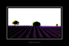 P066382 (Roberto Silverio) Tags: valensole lavande lavanda violet green light portrait landscape highkey robertosilveriophoto olympuscamera zuikolens zuikodigital open