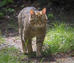 2016-04-28-0178 (BZD1) Tags: animals cats roofdieren wildekat europeanwildcat animal mammal carnivore felidae felis felissilvestrissilvesteris zooduisburg