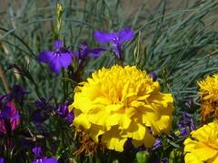 Farbenspiel (dorisgoebel) Tags: blumen flower blten blossom natur sommer