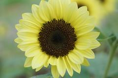 Sunflower Nara / Japan (Kashinkoji) Tags: sony a77 slt flower sunflower nature 50mm bokeh