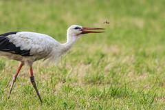 Storch mit Regenwurm (rosi.grewe) Tags: storch wildlife natur nature nikon regenwurm wiese