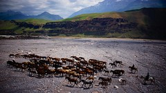 Herd of horses (Meetin' the world) Tags: tadjikistan herd horses travel afganistan border river horse chevaux cheval troupeau asie central asia pamir kirsh shurobod
