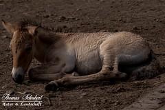 Przewalski-Pferd (Urwildpferd) - Fohlen (Thomas_Schubert) Tags: wisengehegespringeniederschsischelandesforsten przewalskipferd urwildpferd fohlen