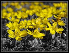 Hahnenfu - Ranunculus (lonobi) Tags: kameras sonydschx20v landschaft pflanze natur blume mnchen bayern deutschland de hahnenfus butterblume ranunculus