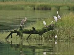 Great Blue Heron, Great Egret, & Snowy Egrets (Bill Bunn) Tags: greatblueheron greategret snowyegrets falmouth maine
