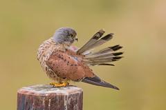 preening feathers (dale 1) Tags: kes kez feathers hawk