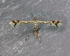 45.010 Amblyptilia acanthadactyla (erdragonfly) Tags: 45010 bf1497 amblyptiliaacanthadactyla