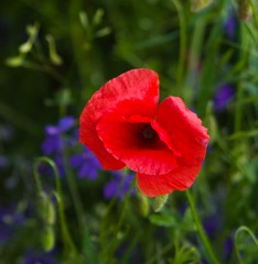 Red and blue 93 (Hejma (+/- 4500 faves and 1,5milion views)) Tags: uplandmiechowska polish poppies cornflowers buds flowers red blue green