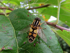 Syrphe - L'Hlophile  bandes grises (Helophilus trivittatus) (Didier Auberget Photographie) Tags: macro insecte insecta pterygota diptera diptre brachycera muscomorpha syrphidae eristalinae helophilus syrphe hlophilebandesgrises helophilustrivittatus hlophile mouche fly syrphide hoverfly