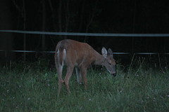 IMG_9676 (thinktank8326) Tags: deer whitetaileddeer fawn babydeer