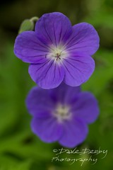 Double Purple (Dave Denby) Tags: 5 flower green leaf mauve nature petal plant pollen purple stem summer
