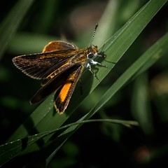 Itsy-Bitsy (Portraying Life) Tags: michigan unitedstates dundeebutterflycount handheld nativelighting closecrop naba da3004hd14tc