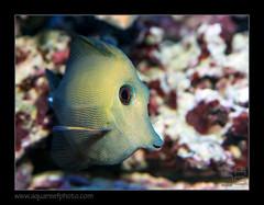 ERLOscopas8564_050914 (kactusficus) Tags: eric marine aquarium reef tank recifal acanthuridae zebrasoma scopas tang brown surgeonfish chirurgien