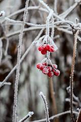 Lonicera (KubaFej) Tags: old winter white nature contrast lens 50mm frost bokeh e series manual nikkor f18 50 jakub 5018 d7000 fejsknikon