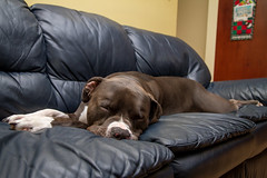 Sleepy Puppy... Explored! Thank you... (hynes.jane) Tags: family dog puppy pitbull sleepy pitbulls kootney