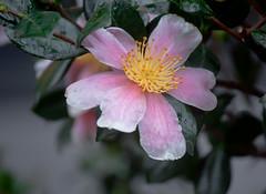 Pink Flower Hidden (Orbmiser) Tags: pink autumn flower fall oregon portland nikon d90 55200vr