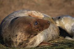 Mum & Pup 2 (jumpandwave) Tags: nature canon grey donna feeding wildlife reserve lincolnshire mum seal pup nook jumpandwave