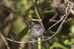 Grey Warbler_8953 (Janice McKenna | eyemac23 | photography) Tags: newzealand bird canon wildlife wellington karorisanctuary aotearoa gerygoneigata greywarbler acanthizidae riroriro 7dmarkii zealandiaecosanctuary
