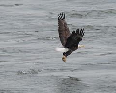 EagleWithFish_1463 (gpferd) Tags: baldeagle bird fish river water darlington maryland unitedstates animal