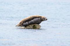 Seal (roger_photo_logistics) Tags: scotland europa unitedkingdom shetland easternquarff