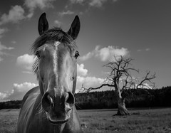 (Svein Nordrum) Tags: sky horses blackandwhite bw horse tree monochrome face field animal norway clouds landscape outdoors oak head branches meadow explore explored tors