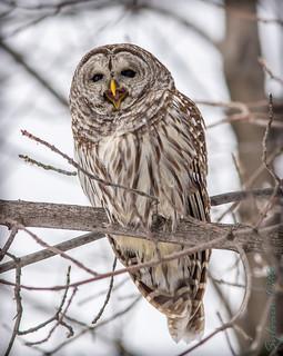 Chouette rayée / Barred Owl [Strix varia]