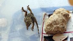 2012-06-07 14-27-29 [1920_1080] (xgecko13x) Tags: marseille mediterranean reptile wildlife lizard lizards  reptiles  wildanimals tarente salamanquesa mditerrane tarentolamauritanica sauria squamata  saurien gekkonidae moorishgecko     crocodilegecko      tarentes
