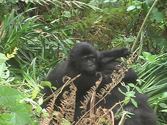 Gorilla on Mothers Back