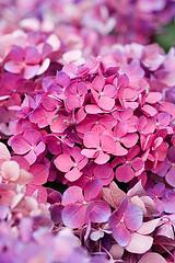 Öylesine (ysmn334) Tags: hydrangea shrub hortensia mophead macrophylla hortensis ramst