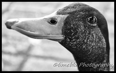 OneFineDuck (limebluphotography) Tags: world auto show new travel sunset vacation sky food dog sun lighthouse white lake storm money black flower detail brick love beach nature monochrome beautiful weather fashion sport stone architecture clouds digital speed sunrise canon lens photography death pain nikon kiss paint day waves technology child play ride legs image body web birth hard smooth grow fast run images romance professional eat adobe pro taxes pixels limeblu limebluphotography