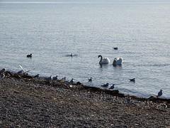 Bodensee - Lake of Constance > in den ffentlichen Strandanlagen in Langenargen ... und im Bodensee (warata) Tags: lake animals germany deutschland see tiere bodensee schwaben lakeofconstance 2015 swabia sddeutschland southerngermany langenargen oberschwaben upperswabia