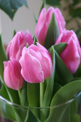 Color for Winter (eyriel) Tags: pink flowers flower macro nature bulb tulips tulip bulbs
