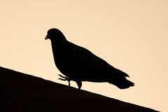 Silhouette of Pigeon (Raj's Photographic Illustrations) Tags: india bird silhouette pigeon hyderabad telangana