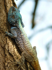 Tree Lizzard
