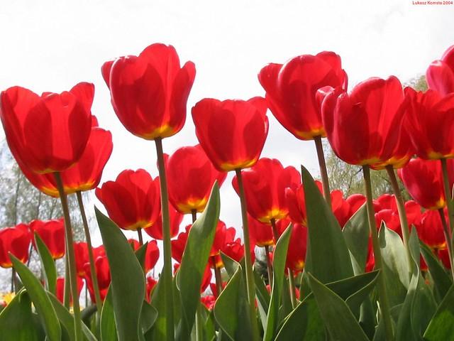 Red-Tulip-Garden-Wallpaper