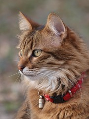 Chat...rmant **-*-+°°° (Titole) Tags: cat chat katze kat gato gatto eliott profile profil collar collier red friendlychallenges herowinner thechallengefactory ultrahero cywinner 15challengeswinner twothumbsup