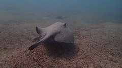 Galapagos - Witch Hill - San Cristobal - Fvrier 2015 (29) (Valerie Hukalo) Tags: southamerica ecuador stingray galapagos snorkeling pacificocean sancristobal equateur underwaterphotography amriquedusud raie ocanpacifique photosousmarine witchhill hukalo valriehukalo photoaquatique