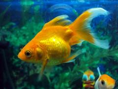 DSC00759 (DoctorsLENS) Tags: red india fish marine underwater bellevue pune manju sudhir akshat brijesh wakad